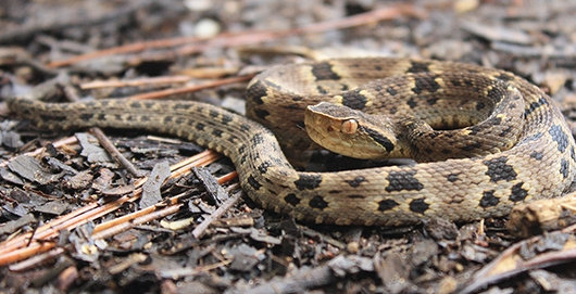 Soros antiofídicos tratam as principais manifestações dos envenenamentos por picadas de serpentes, mas não existem terapias conhecidas eficazes contra complicações secundárias